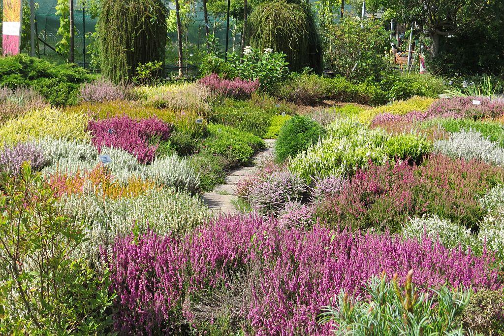Sbírkové vřesoviště v plném květu, sazenice vřesů a vřesovců